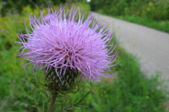 231-Thistle-along-trail
